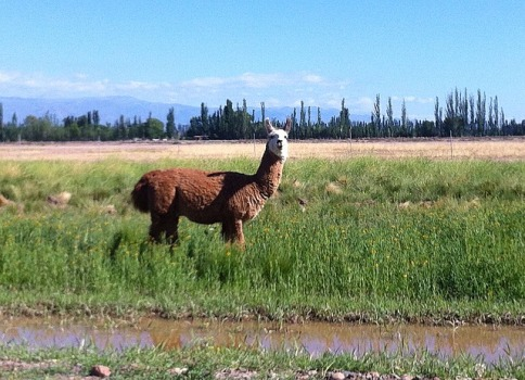 Llamas at Bodega Tapiz