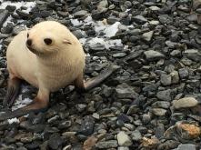 Albino fur seal pup